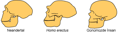 Hominids3.png